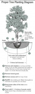 Proper Tree Planting Diagram